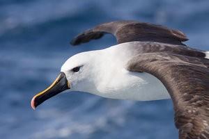 Albatross dream dictionary