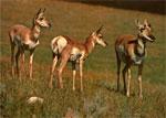 Dream Dictionary Antelope Symbol   Dream Analysis Interpretation ...