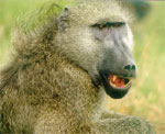 Dream Dictionary Baboon Symbol | Dream Analysis Interpretation Baboon
