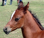 dream foal