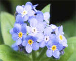 dream forget-me-not