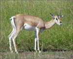 dream gazelle