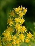 dream goldenrod