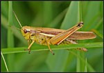 dream grasshopper