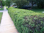 dream hedge