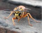 dream hornet