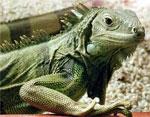 dream iguana