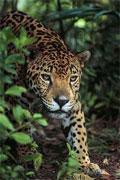 dream jaguar