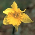 dream jonquil