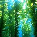 dream kelp
