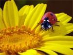 dream ladybird
