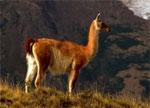 dream llama