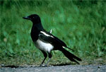 Dream Dictionary Magpie Symbol | Dream Analysis Interpretation Magpie
