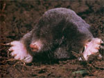 dream mole