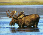 dream moose