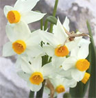 dream narcissus