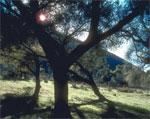 dream oak