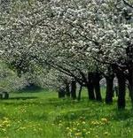 dream orchard