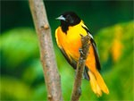dream oriole