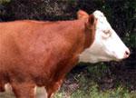 dream oxen