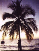 dream palm tree