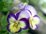 dream pansies