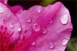 dream petal