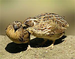 dream quail