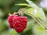 dream raspberries