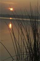 dream reeds