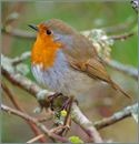 dream robin
