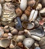 dream shell