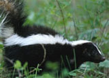 Dream Dictionary Skunk Symbol | Dream Analysis Interpretation Skunk