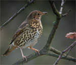dream thrush