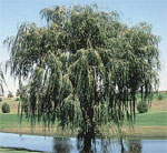 dream willow