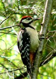 dream woodpecker