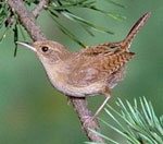 dream wren