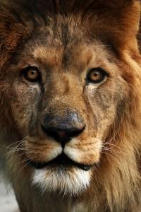 A dream about a lion