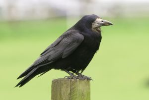 A dream about a raven