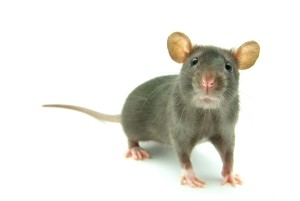 A dream about a rat