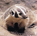 Badger drem interpretation