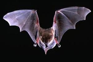 Bat dream dictionary