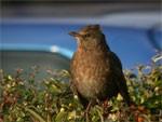 Blackbird drem interpretation