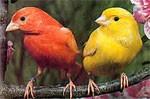 Canary dream dictionary