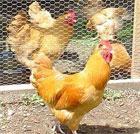 Chickens drem interpretation