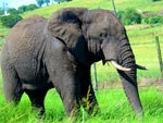 Elephant drem interpretation