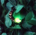 dream firefly