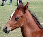 dream foal