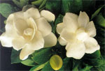dream gardenia
