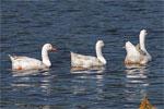 dream geese
